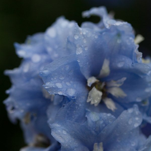 Blue Flower - 2017