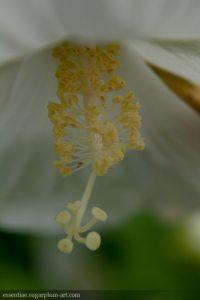 Hibiscus - 2009