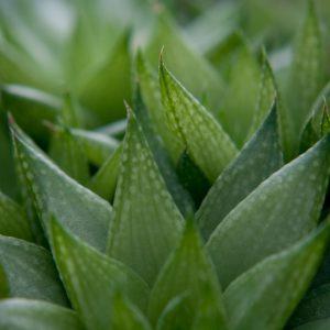 Vert de cactus