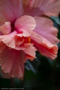 Hibiscus - 2016