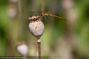 Dragonfly - 2015