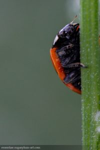 Ladybug - 2017