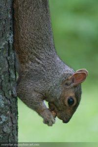 Squirrel - 2009