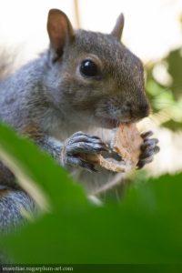 Squirrel - 2016