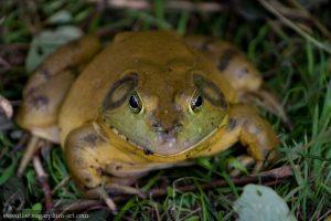 Bullfrog - 2010
