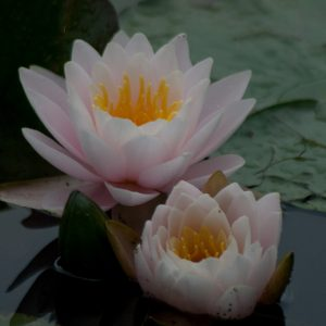 Waterlily - 2009