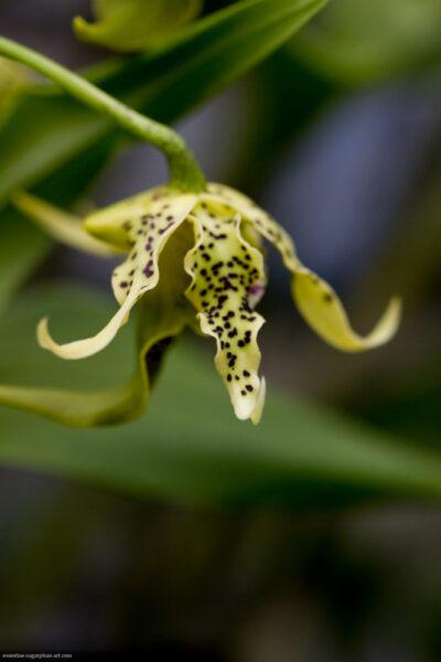 Orchidée - 2017