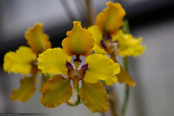 Orchidée - 2018