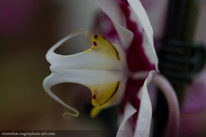 Orchidée - 2015
