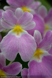 Orchidée - 2016