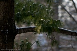 Conifers - 2013