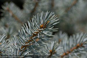 Conifers - 2014
