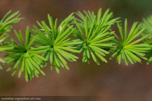 Conifers - 2015