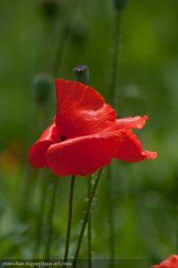 Poppy - 2009