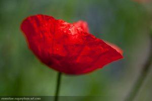 Poppy - 2011