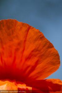 Poppy - 2013
