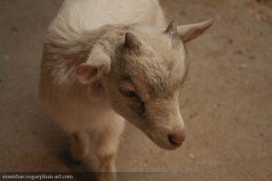 Goat - 2007