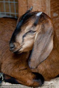 Goat - 2010