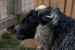 Sheep - 2010