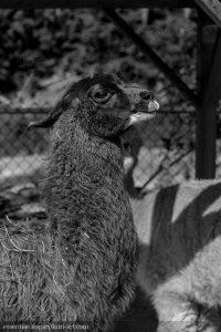 Llama - 2012