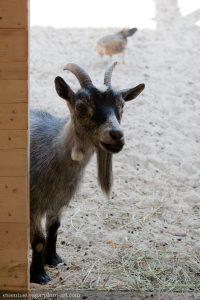 Goat - 2012