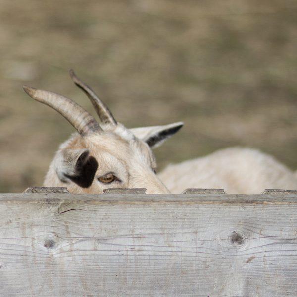 Goat - 2014