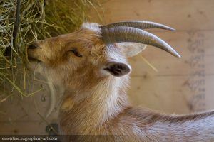 Goat - 2015