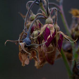 Jardin de novembre - rosier