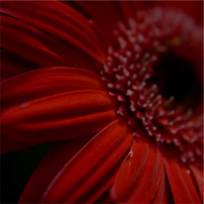 Rouge - Gerbera