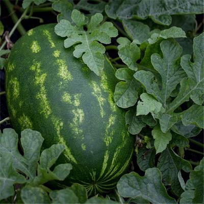 Vert - Melon
