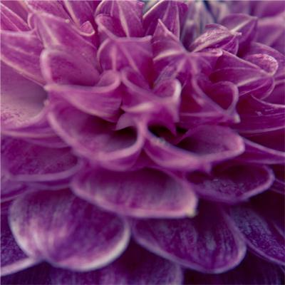 Violet - Fleurs