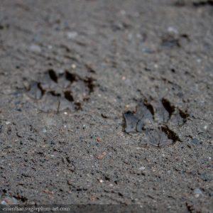 Paws in concrete - 2013