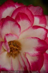 Rose - 2010