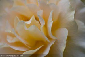 Rose - 2015