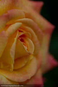Rose - 2017