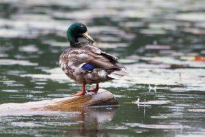 Pluie et canard