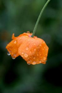 Pluie et pavot