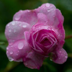 Pluie et rose