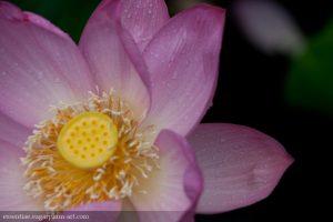 Lotus - 2010