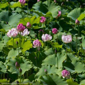 Lotus - 2015