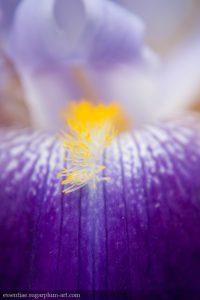 Iris - 2009
