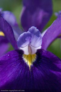 Iris - 2010