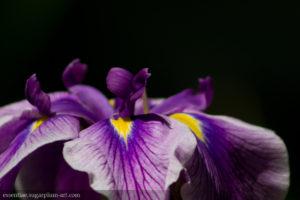 Iris - 2013