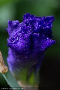 Iris - 2017